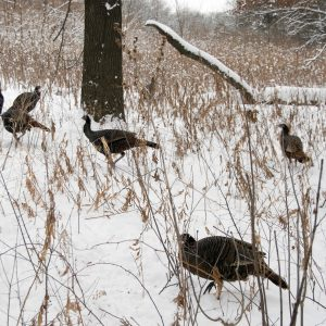 Wild turkeys forage in the snow-covered woods at the UW Arboretum at the University of Wisconsin-Madison during winter on Dec. 29, 2007. ©UW-Madison University Communications 608/262-0067 Photo by: Jeff Miller Date: 12/07 File#: D200 digital camera frame 5311